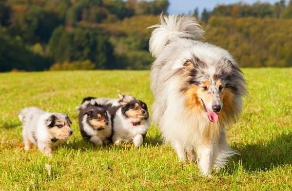 Колли-собака-Описание-особенности-виды-цена-и-уход-за-породой-колли-15