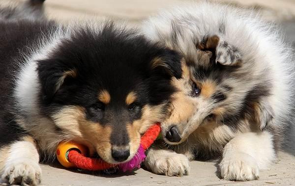 Колли-собака-Описание-особенности-виды-цена-и-уход-за-породой-колли-17