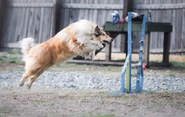 Колли-собака-Описание-особенности-виды-цена-и-уход-за-породой-колли-18