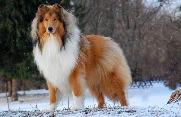 Колли-собака-Описание-особенности-виды-цена-и-уход-за-породой-колли-2
