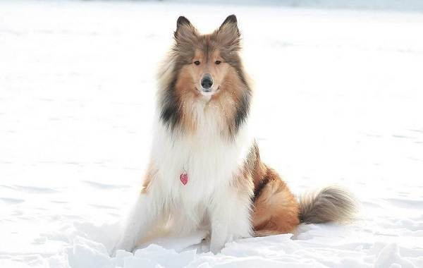 Колли-собака-Описание-особенности-виды-цена-и-уход-за-породой-колли-20