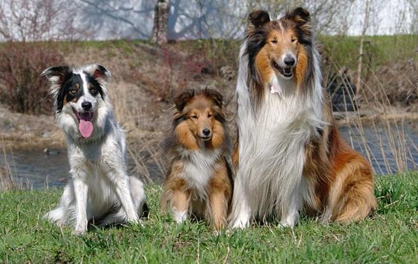 Колли-собака-Описание-особенности-виды-цена-и-уход-за-породой-колли-21