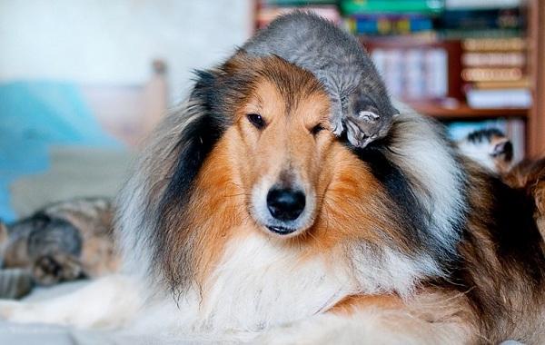 Колли-собака-Описание-особенности-виды-цена-и-уход-за-породой-колли-22