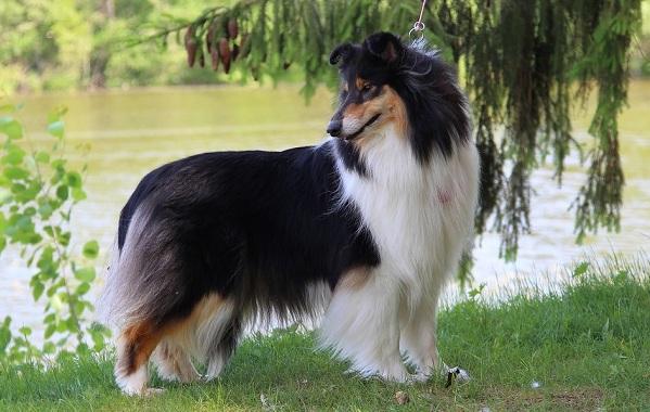 Колли-собака-Описание-особенности-виды-цена-и-уход-за-породой-колли-23