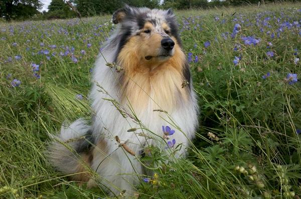 Колли-собака-Описание-особенности-виды-цена-и-уход-за-породой-колли-25