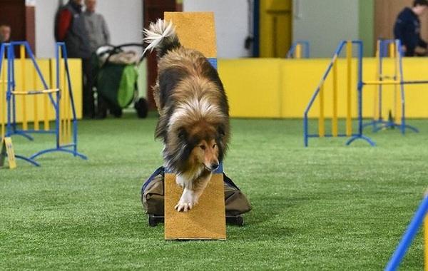 Колли-собака-Описание-особенности-виды-цена-и-уход-за-породой-колли-26