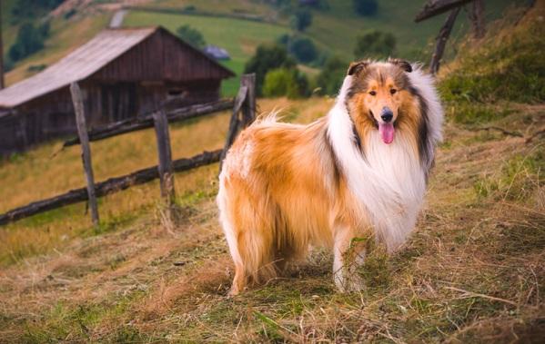 Колли-собака-Описание-особенности-виды-цена-и-уход-за-породой-колли-27