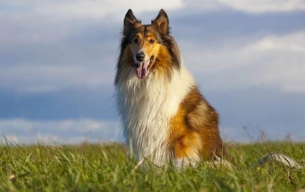 Колли-собака-Описание-особенности-виды-цена-и-уход-за-породой-колли-3
