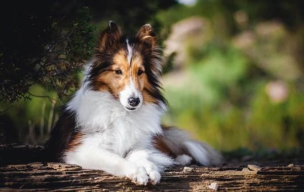 Колли-собака-Описание-особенности-виды-цена-и-уход-за-породой-колли-4