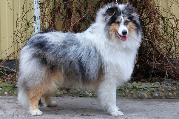 Колли-собака-Описание-особенности-виды-цена-и-уход-за-породой-колли-7