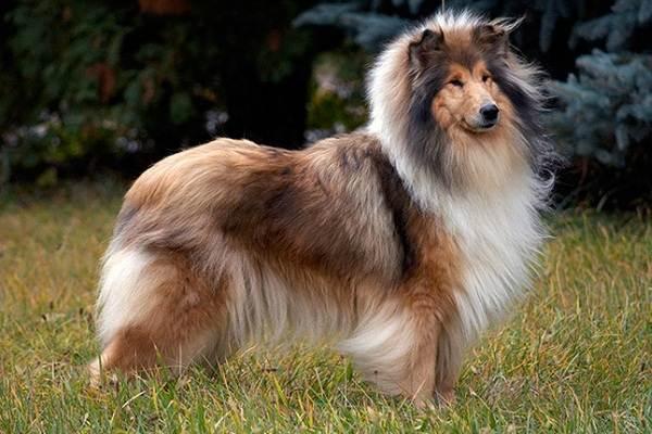 Колли-собака-Описание-особенности-виды-цена-и-уход-за-породой-колли-8