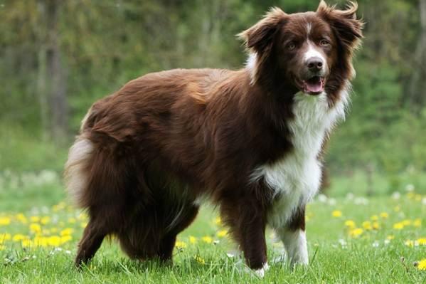 Колли-собака-Описание-особенности-виды-цена-и-уход-за-породой-колли-9