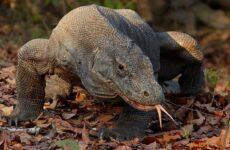Комодский варан животное. Описание, особенности, образ жизни и среда обитания варана