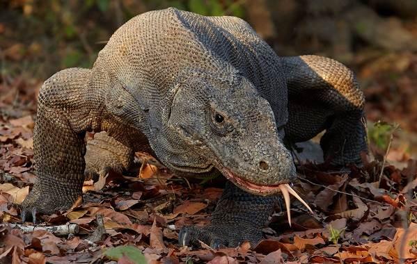 Комодский-варан-животное-Описание-особенности-образ-жизни-и-среда-обитания-варана-1