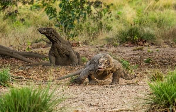 Комодский-варан-животное-Описание-особенности-образ-жизни-и-среда-обитания-варана-10