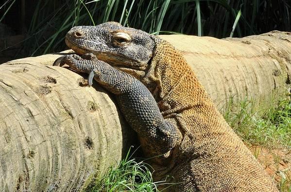 Комодский-варан-животное-Описание-особенности-образ-жизни-и-среда-обитания-варана-13