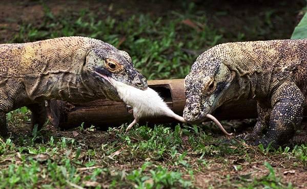 Комодский-варан-животное-Описание-особенности-образ-жизни-и-среда-обитания-варана-17