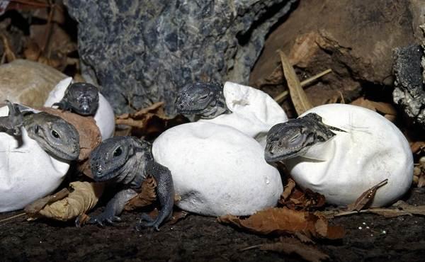 Комодский-варан-животное-Описание-особенности-образ-жизни-и-среда-обитания-варана-18