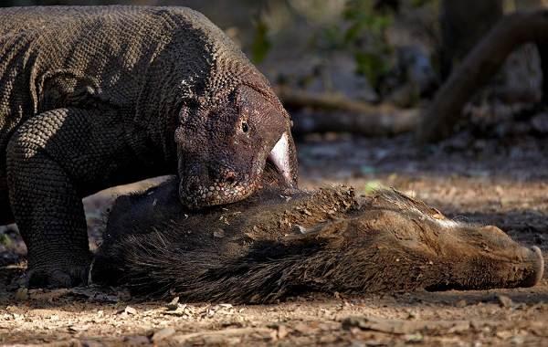 Комодский-варан-животное-Описание-особенности-образ-жизни-и-среда-обитания-варана-2