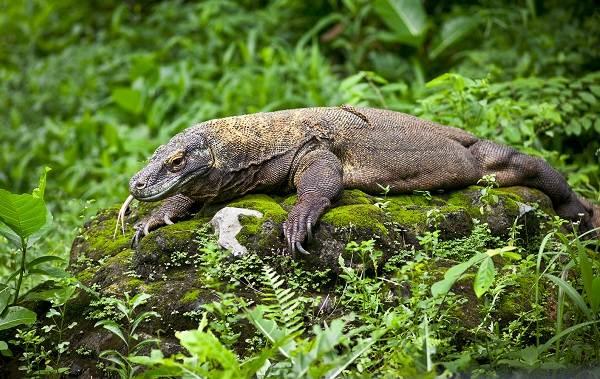 Комодский-варан-животное-Описание-особенности-образ-жизни-и-среда-обитания-варана-3