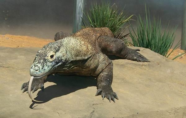 Комодский-варан-животное-Описание-особенности-образ-жизни-и-среда-обитания-варана-4