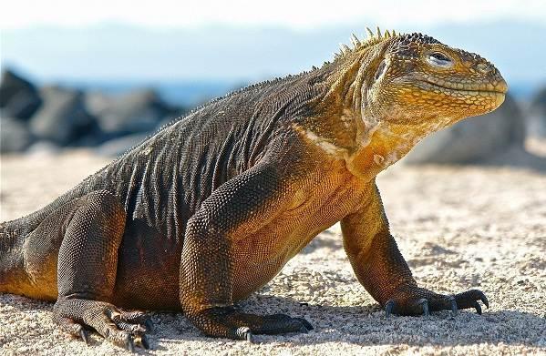 Комодский-варан-животное-Описание-особенности-образ-жизни-и-среда-обитания-варана-5