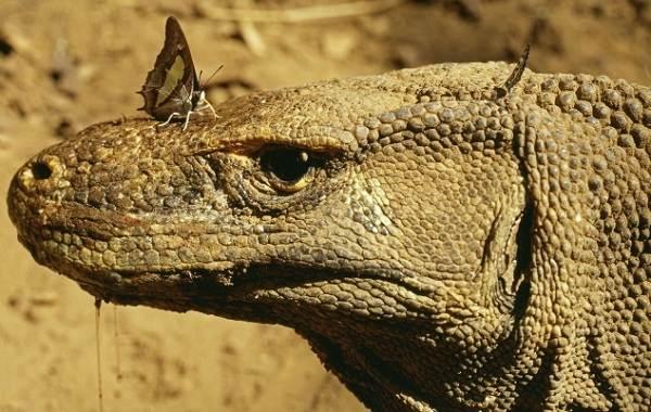 Комодский-варан-животное-Описание-особенности-образ-жизни-и-среда-обитания-варана-7