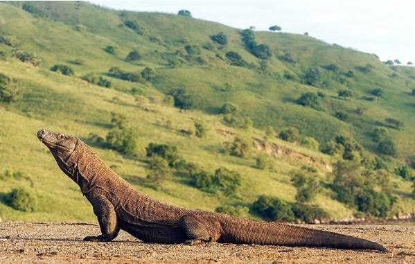 Комодский-варан-животное-Описание-особенности-образ-жизни-и-среда-обитания-варана-8