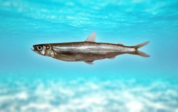 Корюшка-рыба-Описание-особенности-виды-образ-жизни-и-среда-обитания-корюшки-1