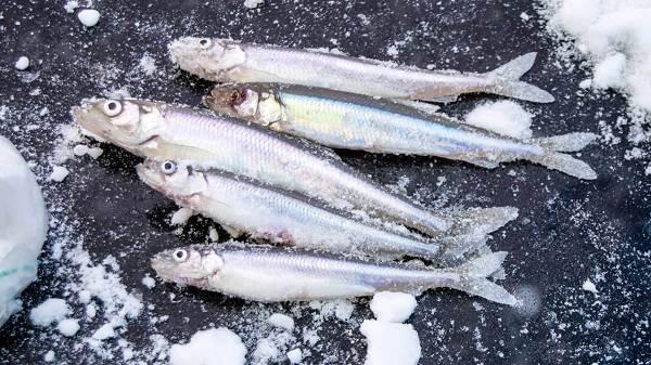 Корюшка-рыба-Описание-особенности-виды-образ-жизни-и-среда-обитания-корюшки-3