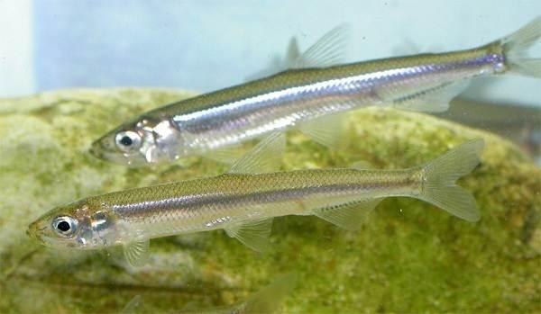 Корюшка-рыба-Описание-особенности-виды-образ-жизни-и-среда-обитания-корюшки-5