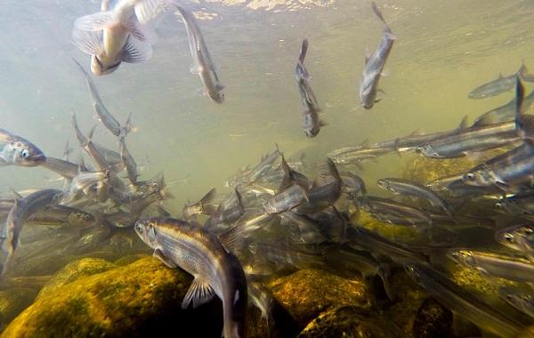 Корюшка-рыба-Описание-особенности-виды-образ-жизни-и-среда-обитания-корюшки-9