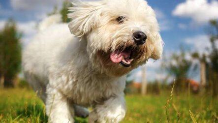 Котон де тулеар собака. Описание, особенности, виды, уход и цена породы
