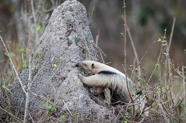 Муравьед-животное-Описание-особенности-виды-образ-жизни-и-среда-обитания-муравьеда-11