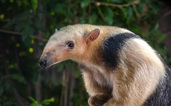 Муравьед-животное-Описание-особенности-виды-образ-жизни-и-среда-обитания-муравьеда-2