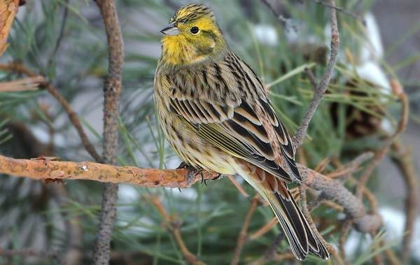 Овсянка-птица-Описание-особенности-виды-образ-жизни-и-среда-обитания-овсянки-1