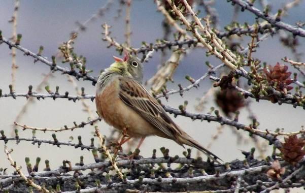 Овсянка-птица-Описание-особенности-виды-образ-жизни-и-среда-обитания-овсянки-10