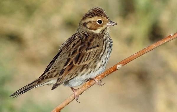 Овсянка-птица-Описание-особенности-виды-образ-жизни-и-среда-обитания-овсянки-11