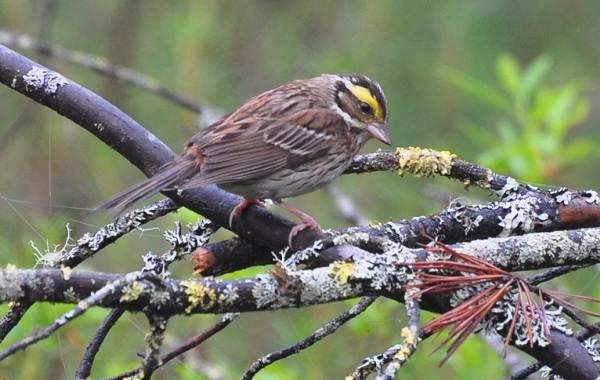 Овсянка-птица-Описание-особенности-виды-образ-жизни-и-среда-обитания-овсянки-12