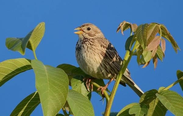 Овсянка-птица-Описание-особенности-виды-образ-жизни-и-среда-обитания-овсянки-13