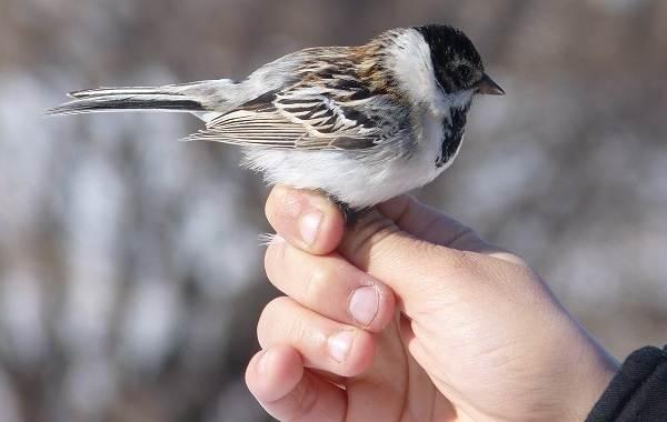 Овсянка-птица-Описание-особенности-виды-образ-жизни-и-среда-обитания-овсянки-14