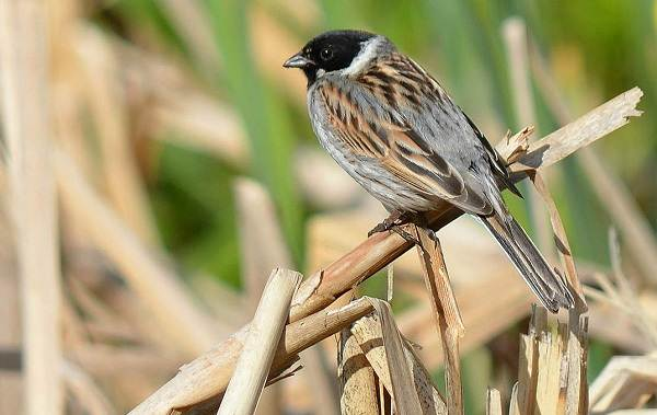 Овсянка-птица-Описание-особенности-виды-образ-жизни-и-среда-обитания-овсянки-15
