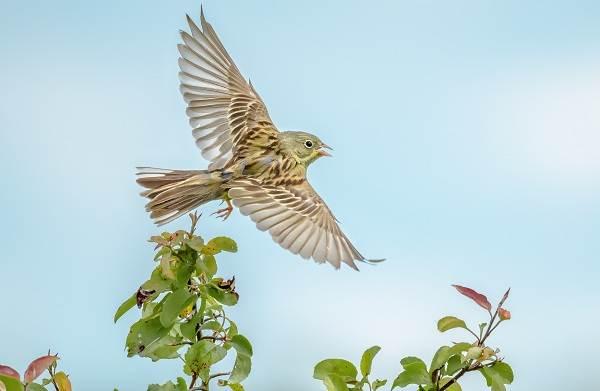 Овсянка-птица-Описание-особенности-виды-образ-жизни-и-среда-обитания-овсянки-16
