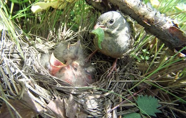 Овсянка-птица-Описание-особенности-виды-образ-жизни-и-среда-обитания-овсянки-17