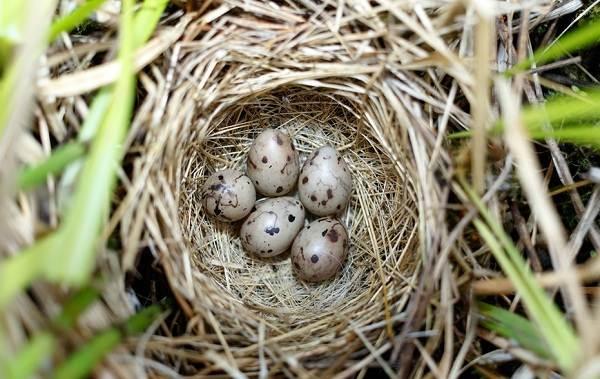 Овсянка-птица-Описание-особенности-виды-образ-жизни-и-среда-обитания-овсянки-18