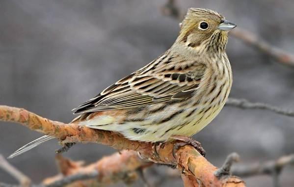 Овсянка-птица-Описание-особенности-виды-образ-жизни-и-среда-обитания-овсянки-2