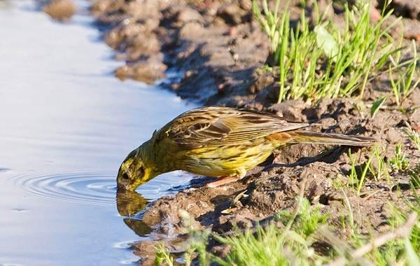 Овсянка-птица-Описание-особенности-виды-образ-жизни-и-среда-обитания-овсянки-20