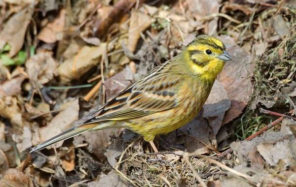 Овсянка-птица-Описание-особенности-виды-образ-жизни-и-среда-обитания-овсянки-3
