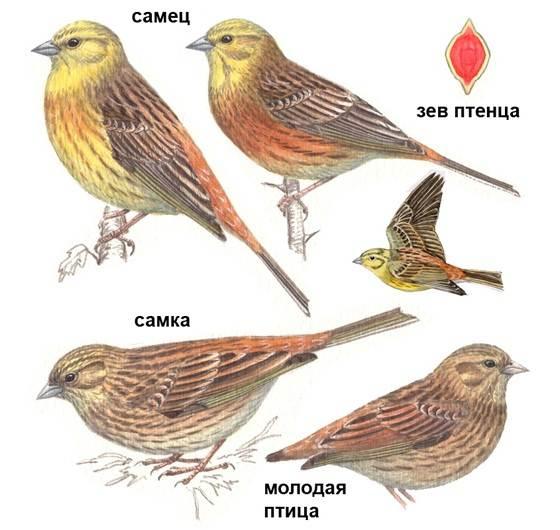 Овсянка-птица-Описание-особенности-виды-образ-жизни-и-среда-обитания-овсянки-4