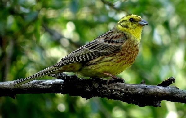Овсянка-птица-Описание-особенности-виды-образ-жизни-и-среда-обитания-овсянки-5
